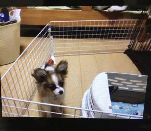 オンライン パピヨンの子犬、小麦ちゃん トイレトレーニングの復習や小麦ちゃんとの付き合い方をお伝えしました!