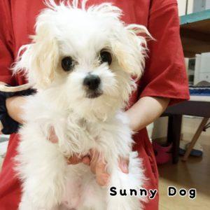 MIX犬の子犬、うるちゃん トイレトレーニングを集中的に頑張りました!