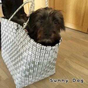 MIX犬の子犬ネロ君、フセと呼び戻しを中心にトレーニングを開始しました!