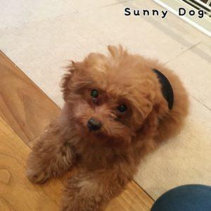 トイプードルの子犬、ペコちゃん 得意のフセから初挑戦のヒールポジションまで幅広く練習しました!