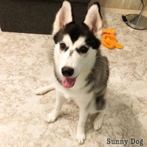 シベリアンハスキーの子犬おでんちゃん、撃つと倒れる?!トリックのバーンを教えましたよ♪