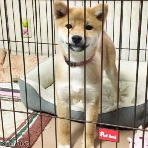 柴犬の子犬、かりんちゃん スムーズに入れるようにハウストレーニングをしました!