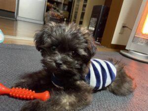 【オンライン】MIX犬の子犬、しんのすけくん オンラインでトイレトレーニングの方法をお伝えしました!