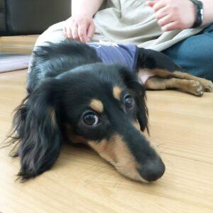ミニチュアダックスフンドの子犬、琥珀君、呼び戻しとマテの練習をしました!