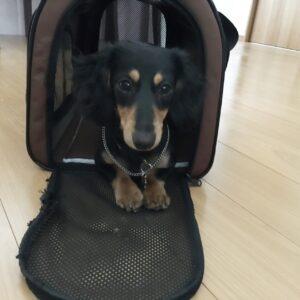 ミニチュアダックスフンドの子犬、琥博君 いろんな指示が聞けるように練習しました!