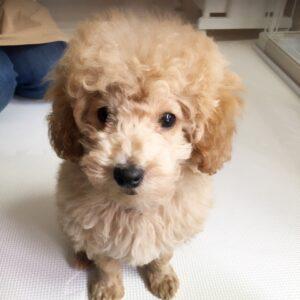 トイプードルの子犬、マシュ君 お留守番に慣れるようにハウストレーニングをしました!