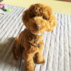 トイプードルの子犬、ミント君 人に注目しやすいようにアイコンタクトと呼び戻しの練習をしました!