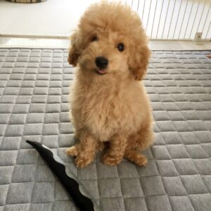 トイプードルの子犬、マシュ君 ブランケットの上で落ち着く練習と呼び戻しに便利なグータッチを覚えました!