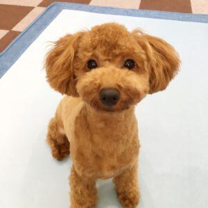 トイプードルの子犬、ひめちゃん 室内でお散歩のトレーニングをしました!
