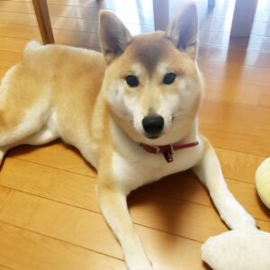 柴犬の子犬、ももちゃん 「ちょうだい」で拾い食い防止に繋がるよう練習しました!