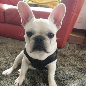 フレンチブルドッグの子犬、だだお君 フセの応用編マットを練習しました!