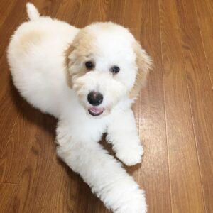 オーストラリアンラブラドゥードルの子犬、ドールちゃん 甘噛みを減らすために飛びつき防止の練習をしました!